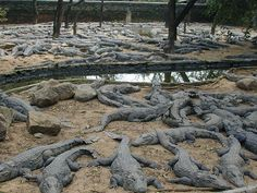 I coccodrilli sono un ordine di rettili diapsidi. A causa della