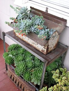 Echeveria pulvinata 'Frosty' in an old tool-box by hortulus, via Flickr