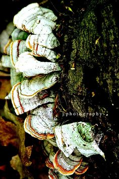 """""""It is not so much for its beauty that the forest makes a claim upon men's hearts,  as for the subtle something, that quality of air that emendates from old trees,  that so wonderfully changes and renews a weary spirit.""""  ~Robert Louis Stevenson  #tree #fungus"""