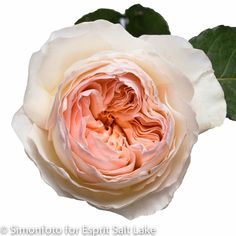 "Peach Garden Rose romantic antike"" coral garden rose 