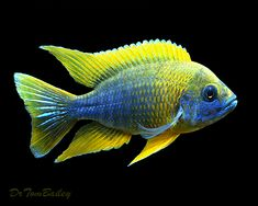 Lemon Jake, a mature male Aulonocara jacobfreibergi, an African Cichlid species from Lake Malawi.