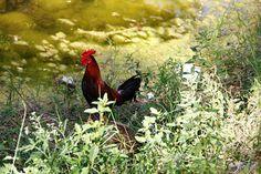 Ave Azul Cultura: PINTA TU VIDA CON EL COLOR DE LA NATURALEZA Rooster, Animals, Culture, Blue Nails, Naturaleza, Places, Colors, Life, Animales
