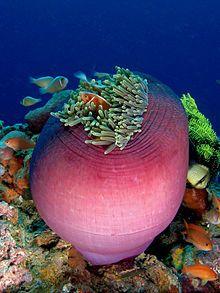 Amphiprion perideraion (Pink anemonefish) in Heteractis magnifica (Magnificent sea anemone) - Heteractis magnifica - Wikipedia Underwater Creatures, Underwater Life, Ocean Creatures, Beautiful Sea Creatures, Magical Creatures, Fauna Marina, Sea Anemone, Anemone Flower, Flowers
