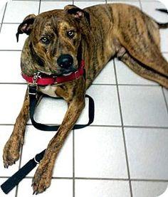 Sterling Heights, MI - Mastiff Mix. Meet Duminas, a dog for adoption. http://www.adoptapet.com/pet/13648560-sterling-heights-michigan-mastiff-mix