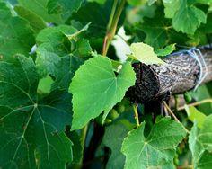 Kto ich má v záhrade, nemusí sa báť vysokého tlaku, kŕčových žíl ani alergií: Starostlivo si uchovajte tieto listy!!