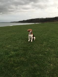 Hector #beagle #cute dog