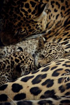 leopard and her cubs