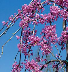 Redbud. Latin name: Cercis canadensis Lavender Twist®. Zones 5-9. Learn more here http://www.finegardening.com/plantguide/cercis-canadensis-lavender-twist-redbud.aspx