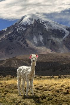 This Bolivian #Alpaca is perfectly adapted to the harsh terrain. http://j.mp/EW-Alpaca