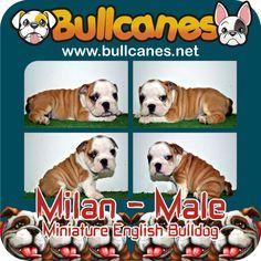 MILAN MINIATURE ENGLISH BULLDOG PUPPIES FOR SALE - MAY 2014 http://www.bullcanes.net/ Bulldog Breeders ceo@bullcanes.net bullcanes1@hotmail.com WhatsApp: +57 3113547995 Instagram: @BULLCANES Bulldog puppies for Sale TollFree: 1-888 7806050 Carolina Osorio