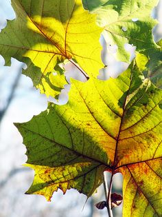 This is a pic of Sycamore Leaves that Lennie and George seen when they were traveling down the highway. Sycamore Leaf, Of Mice And Men, Life Is Beautiful, Breeze, Lens, Traveling, Walking, Names, Night