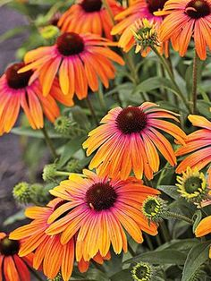 Bred in Holland, Rainbow Marcella is unlike any other coneflower with its gorgeous flowers that start out the color of orange sherbet and develop a raspberry blush as they age. The compact plants are
