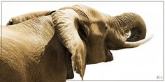 Ellie drinking, Tuli, Botswana Drinking, Elephant, Africa, Animals, Image, Beverage, Animales, Drink, Animaux