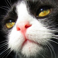 tuxedo cat...luv, luv, luv this face!!!!