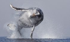 The whale who thoughts he could fly: Amazing humpback is leaping out of water!