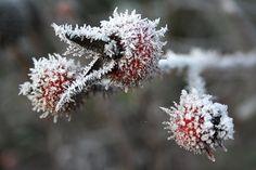 Rosa centifolia muscosa rubra