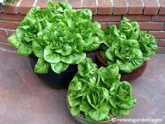 """Jade Gem"" lettuce: An heirloom gardener's favorite! 5 Best Container Veggies: BrownThumbMama.com"