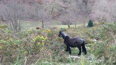 Las Foces del Río Pendón, #ruta de #montaña por #Asturias. Fauna: #caballos