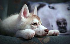 Herunterladen hintergrundbild schlittenhund, schnauze, hunde, welpen, niedliche tiere