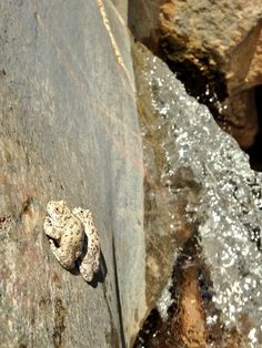 Michael Thomas Bogan @mtbogan  Oct 13 Canyon treefrogs (Hyla arenicolor) perch peacefully on vertical rocks next to Willow Creek, AZ Embedded image permalink