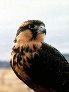 Northern Aplomado Falcon. Photo: FWS