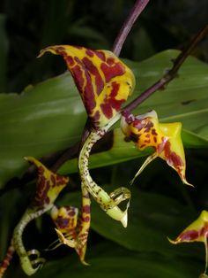 Gongora tricolor