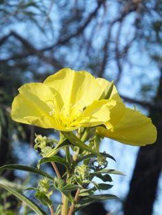 Yellow Evening Primrose-Desert Botanical Garden