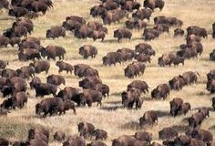 herd of buffalo, or bison