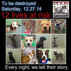 TO BE DESTROYED: 12 Dogs to be euthanized by NYC ACC- SAT. 12/27/14. This is a HIGH KILL shelter group. YOU may be the only hope for these pups! ****PLEASE SHARE EVERYWHERE!!! To rescue a Death Row Dog, Please read this: http://mustread.urgentpetsondeathrow.org/ To view the full album, please click here: www.facebook.com/...