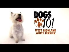 DOGS 101 - West Highland White Terrier [ENG] - http://www.doggietalent.com/posts/dogs-101-west-highland-white-terrier-eng/