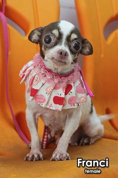 Meet Franci - She and her buddy Fanni are both 4 years old and are from a puppy mill in Taiwan. Franci weighs about 5 lbs. The owners used them as breeding dogs and when they were no longer useful, dumped them in a wooded area with no food or...