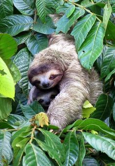 Brown Three-toed Sloth with Baby Pictures Of Sloths, Cute Sloth Pictures, Sloth Photos, Happy Animals, Nature Animals, Animals And Pets, Super Cute Animals, Cute Funny Animals, Smiling Sloth