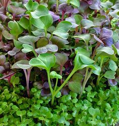 Microherbs Are Microgreens Evolved ... - MicrogreenFarm.co