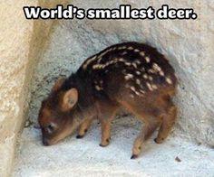 World's smallest deer. Ashley loves deer. ❤✨✨