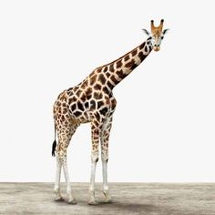 Die lange Giraffe schaut sich die Welt von oben an und sie ist wie jedes ArtyAnimal erhältlich auf verschiedenen Materialien und in unterschiedlichen Formaten von klein bis groß.