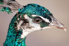 By Nathan Rupert #peacock #bird #animal