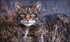 scottish wildcat. Scotland has wild cats???? This makes Scotland even more awesome...I want to go there!!!