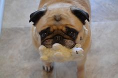 Bailey Puggins and her new toy Lambchop.
