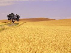 Oak Tree Amidst Wheat Fields Fotodruck von Craig Tuttle - AllPosters.at