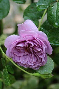 Climbing Rose: Rosa 'Rainy Blue' (Germany, c.2012)