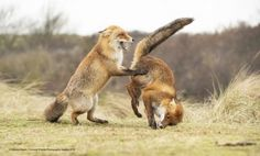 """""""Smell my arse"""" 2019 Finalists :: Comedy Wildlife Photography Awards - Conservat. - """"Smell my arse"""" 2019 Finalists :: Comedy Wildlife Photography Awards – Conservation through C - Wild Life, Funny Animal Photos, Funny Photos, Funny Animals, Funniest Photos, Animals Photos, Photography Competitions, Photography Awards, Importance Of Wildlife"""