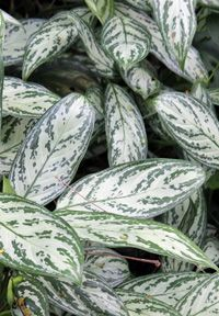 House Plant - Aglaonema Silver Queen