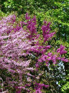Duo d'arbres de Judée http://www.pariscotejardin.fr/2013/05/duo-d-arbres-de-judee/