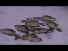 Catching crappies through the ice! Music provided by Kevin Macleod Winter Fishing, Kevin Macleod, Ice Fishing, Pets, Animals, Animales, Animaux, Animal Memes, Animal