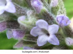 Macro photo of a lavender bud #natureart I love to use nature as inspiration for designs, colorways and sketches