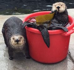 Watch our Sea Otter Cam! Our otters love to play with toys, lounge in ice buckets or just snooze. Dachshund Puppies, Baby Puppies, Baby Animals, Cute Animals, Baby Giraffes, Wild Animals, Significant Otter, Baby Otters, Baby Sloth
