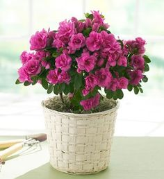 Hot 100 Pcs Rare Bonsai Mixed Colors Azalea Seeds Diy Home & Garden Plants Looks Like Sakura Japanese Cherry Blooms Flower Seeds Home Garden Plants, Garden Pots, Flower Seeds, Flower Pots, Cherry Blooms, Plants Are Friends, Blooming Plants, My Secret Garden, Exotic Flowers