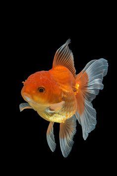 This little guy looks like our goldfish Cheeto! Goldfish Types, Goldfish Tank, Ryukin Goldfish, Colorful Fish, Tropical Fish, Beautiful Fish, Animals Beautiful, Carpe Koi, Golden Fish