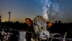cow.jpg/a photo of the milky way got photobombed by a cow in New Hampshire,they seemed to run towards the startled photographer all at once.