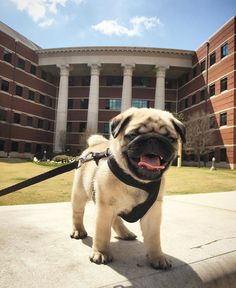 Adorable Baylor pug!